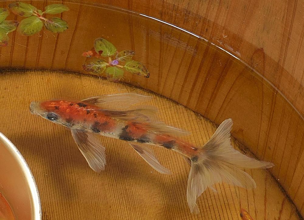 أسماك ذهبية مرسومة في مادة صمغية شفافة تبدو وكأنها حقيقية