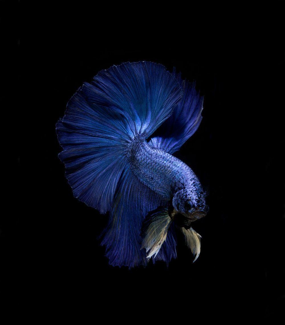صور لأسماك منزلية تسبح بتألق
